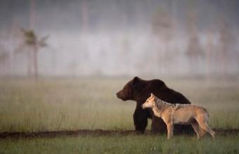 фотографии дружбы волка и медведя