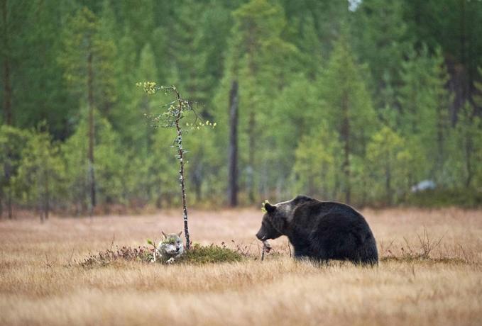 медведь делится добычей с волчицей