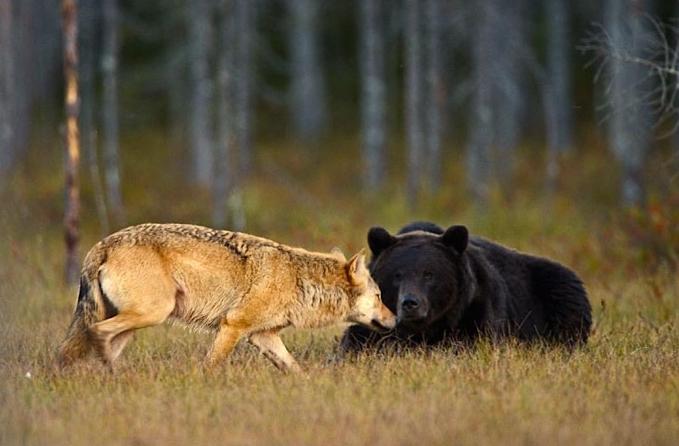 совместное фото бурового медведя и волчицы
