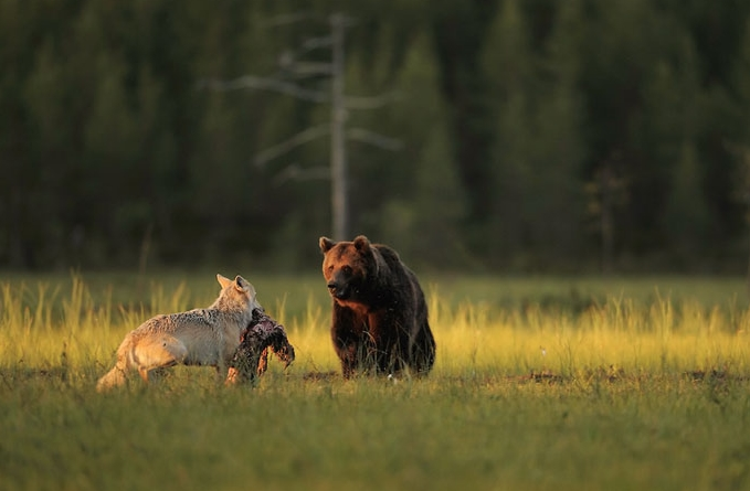 волчица делится едой с медведем