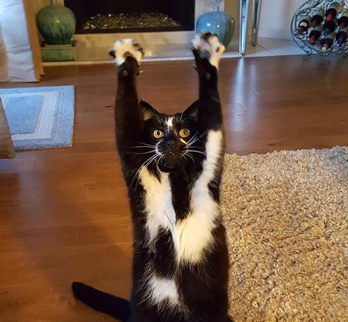 кошка с поднятыми к верху лапами