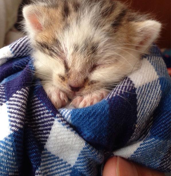 котенок в пледе