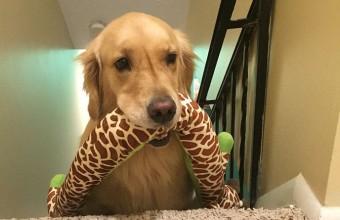 собака с игрушкой на лестнице