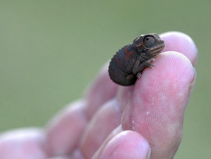 Детеныш хамелеона на пальце