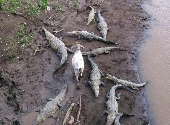 фото козла и крокодилов