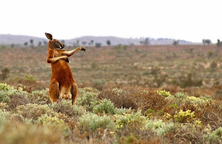 Смешное фото кенгуру