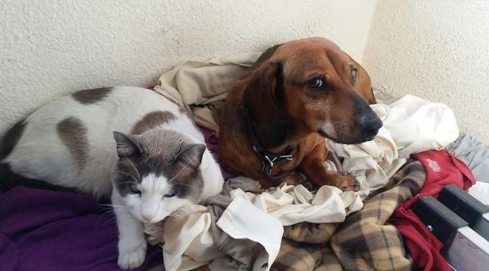 дружба таксы и кота