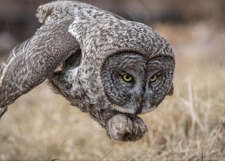 сова на охоте