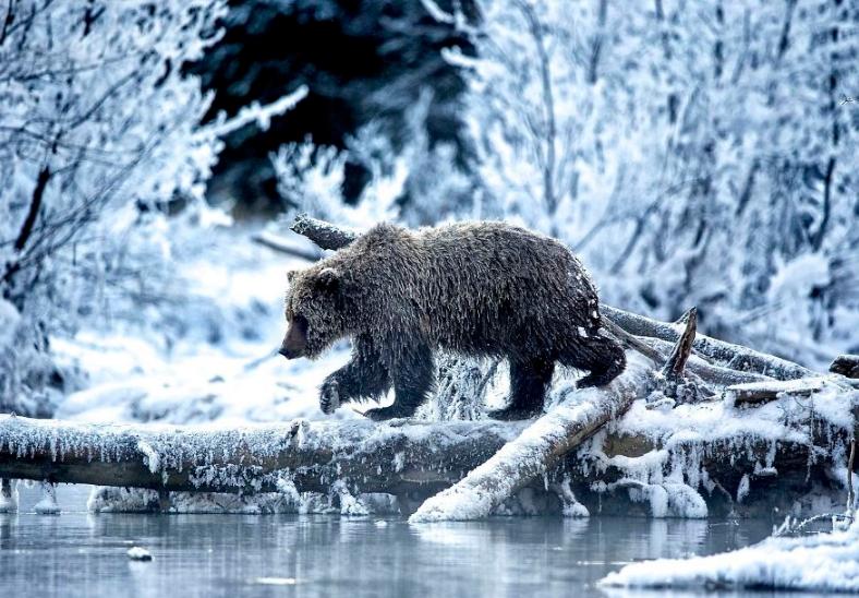 Фото медведя зимой