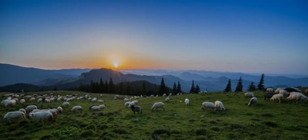 фото румынских овец