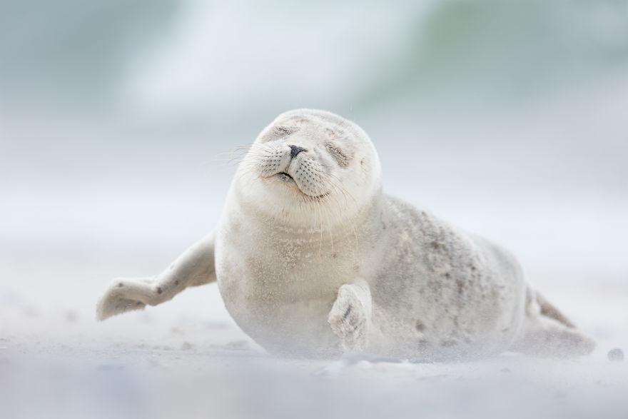 фотография довольного тюлененка
