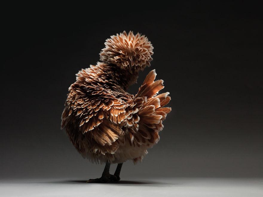 фотография красивой курицы
