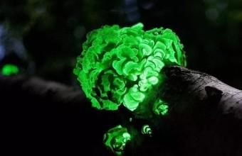 светящийся гриб фото