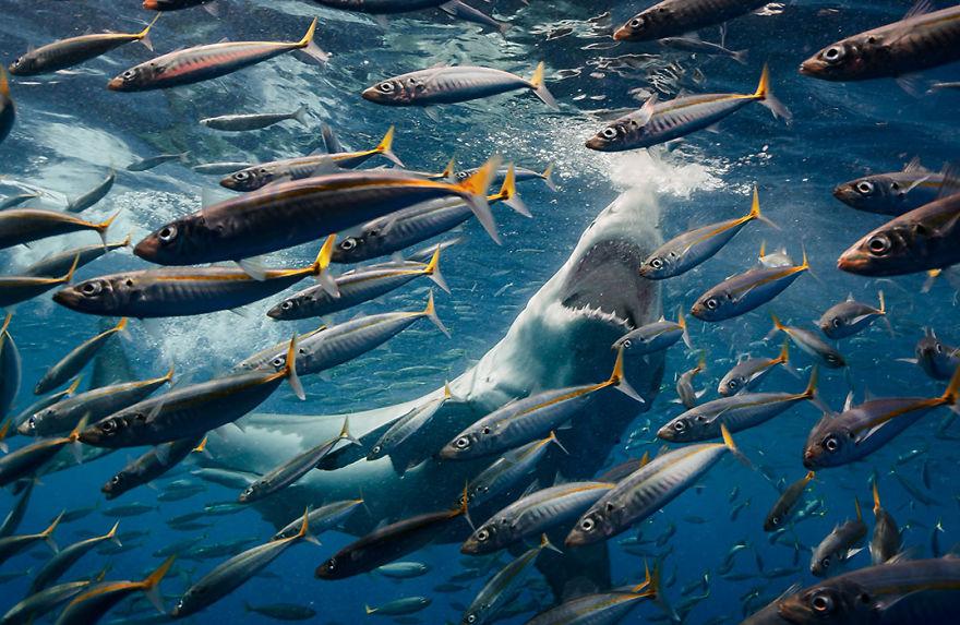 фото охоты акулы