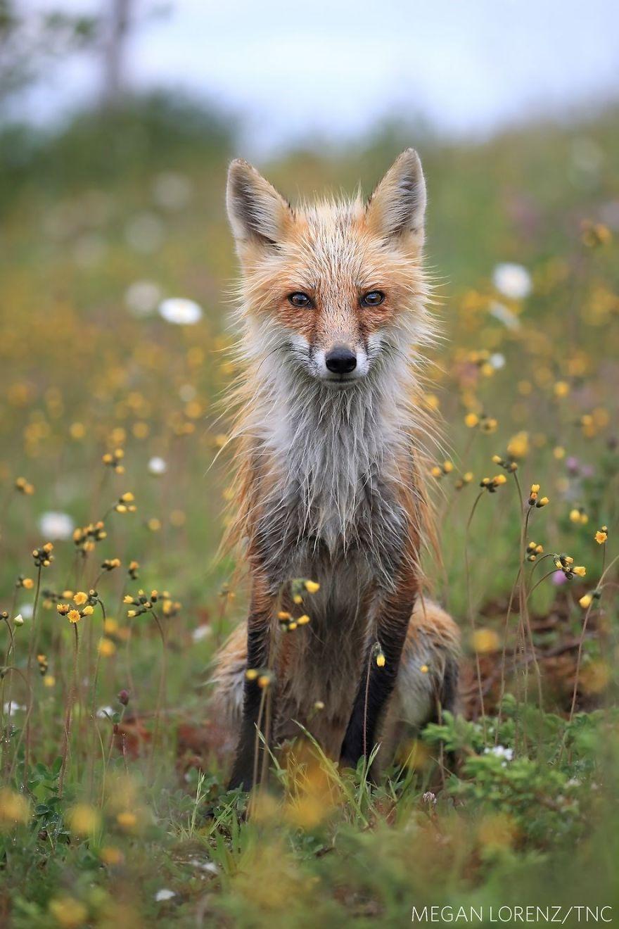 фотография мокрой лисы