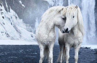 фото лошадей исландии