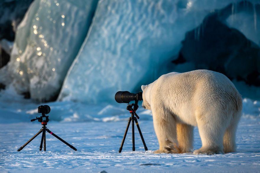 белый медведь фотограф
