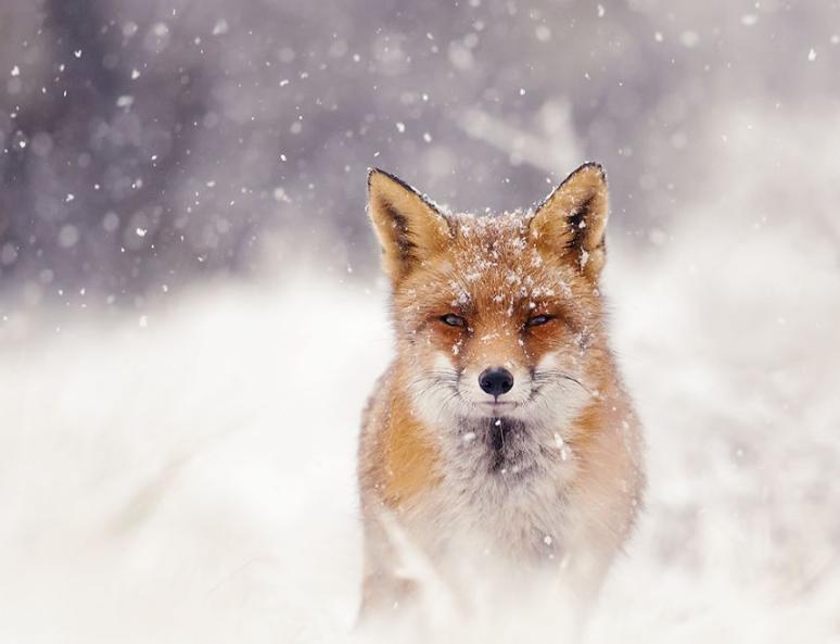 фотографии лис в снегу