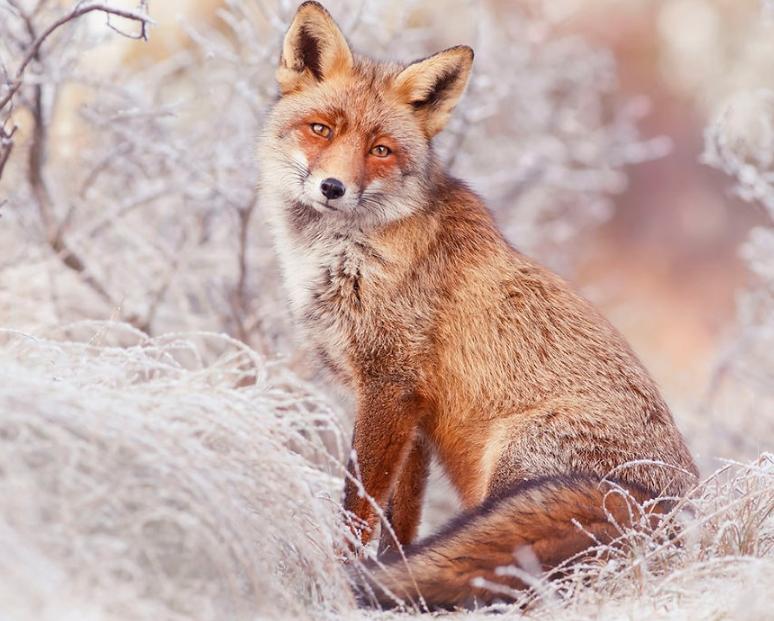 фотка лисицы зимой