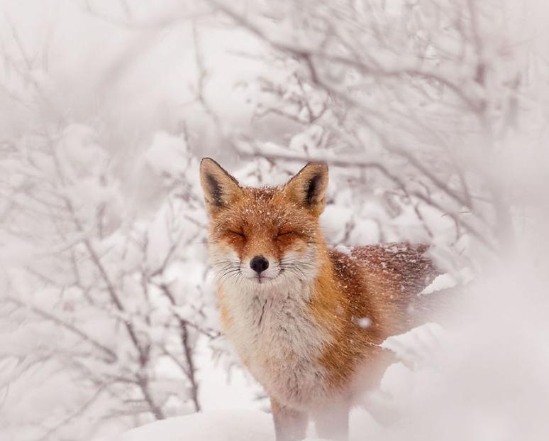 фотография довольной лисы