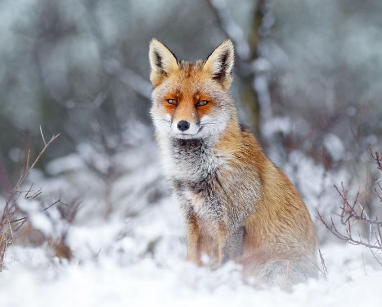 лиса сидит в снегу