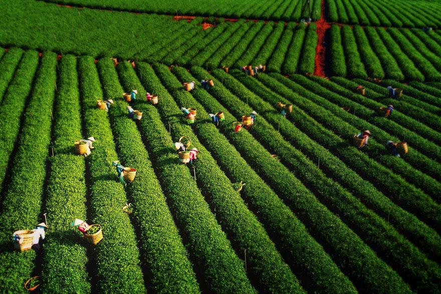 фото чайного поля