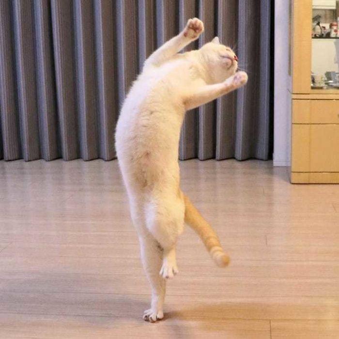 танцующий на задних лапах кот