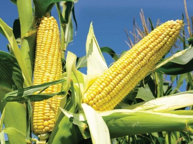 фотка кукурузы