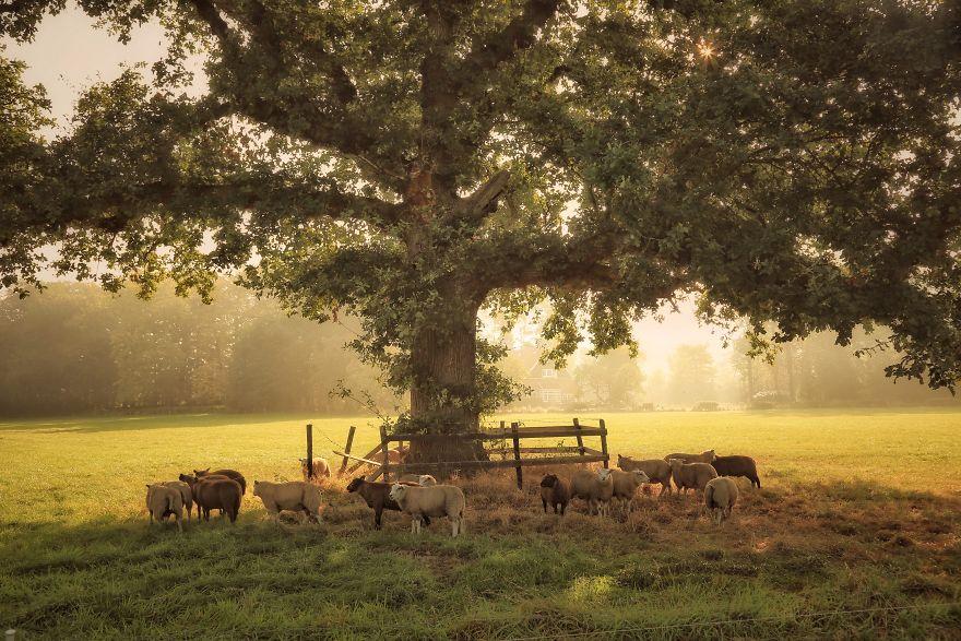 фото овец из Нидерландов