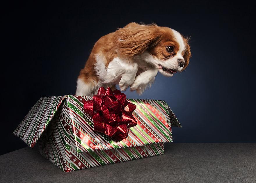 собака, коробка, новый год