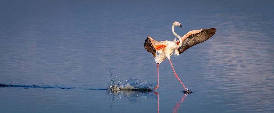 фламинго танцует фото