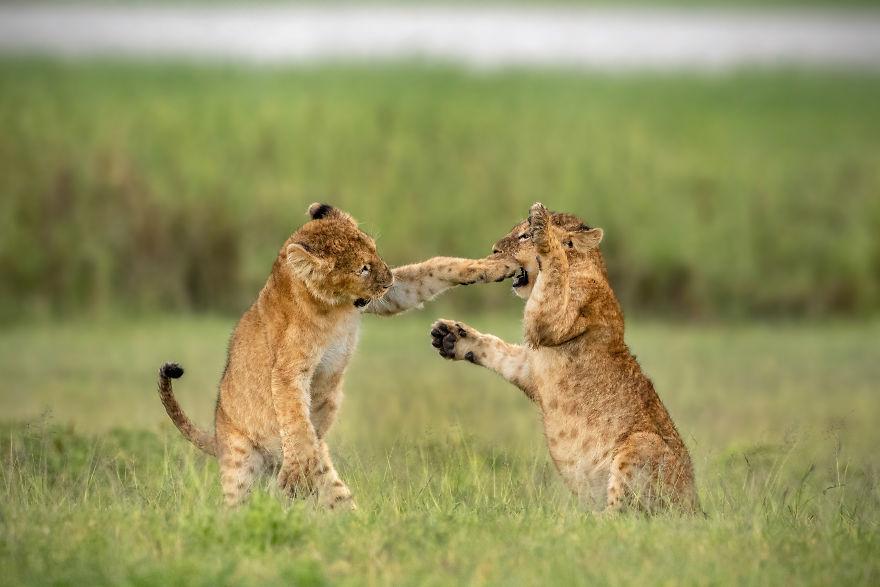 львята занимаются боксом