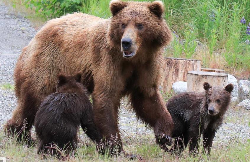 фото медведицы и медвежат