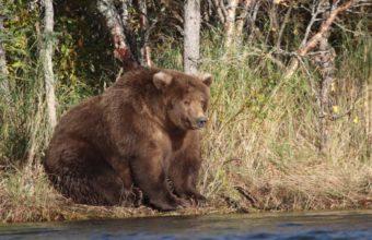 фото толстого медведя