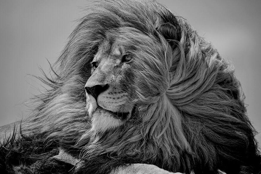черно-белое фото льва