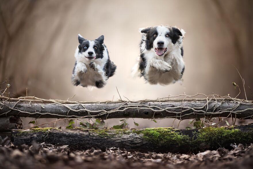 два пса в прыжке