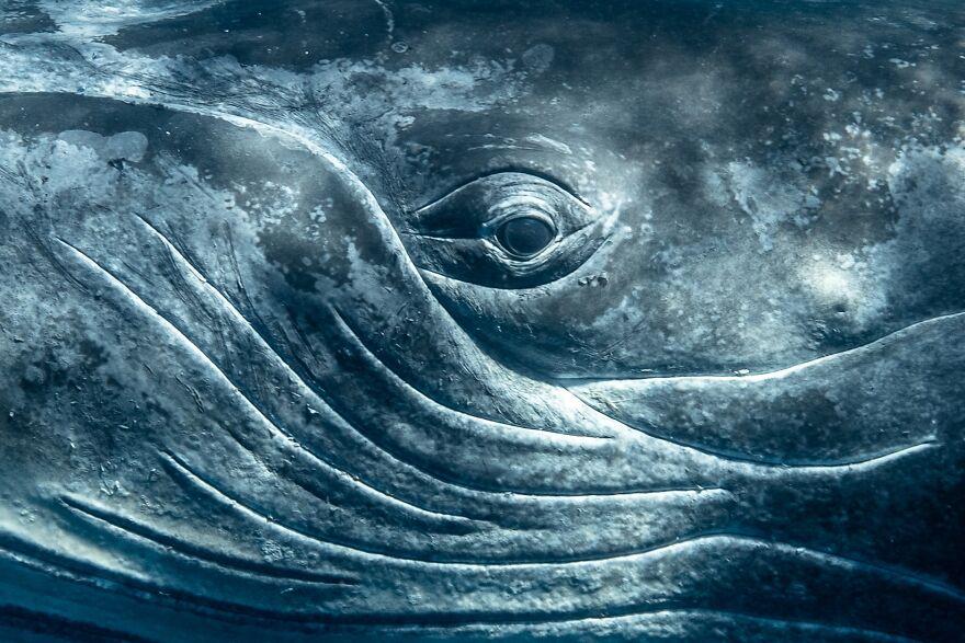 глаз горбатого кита