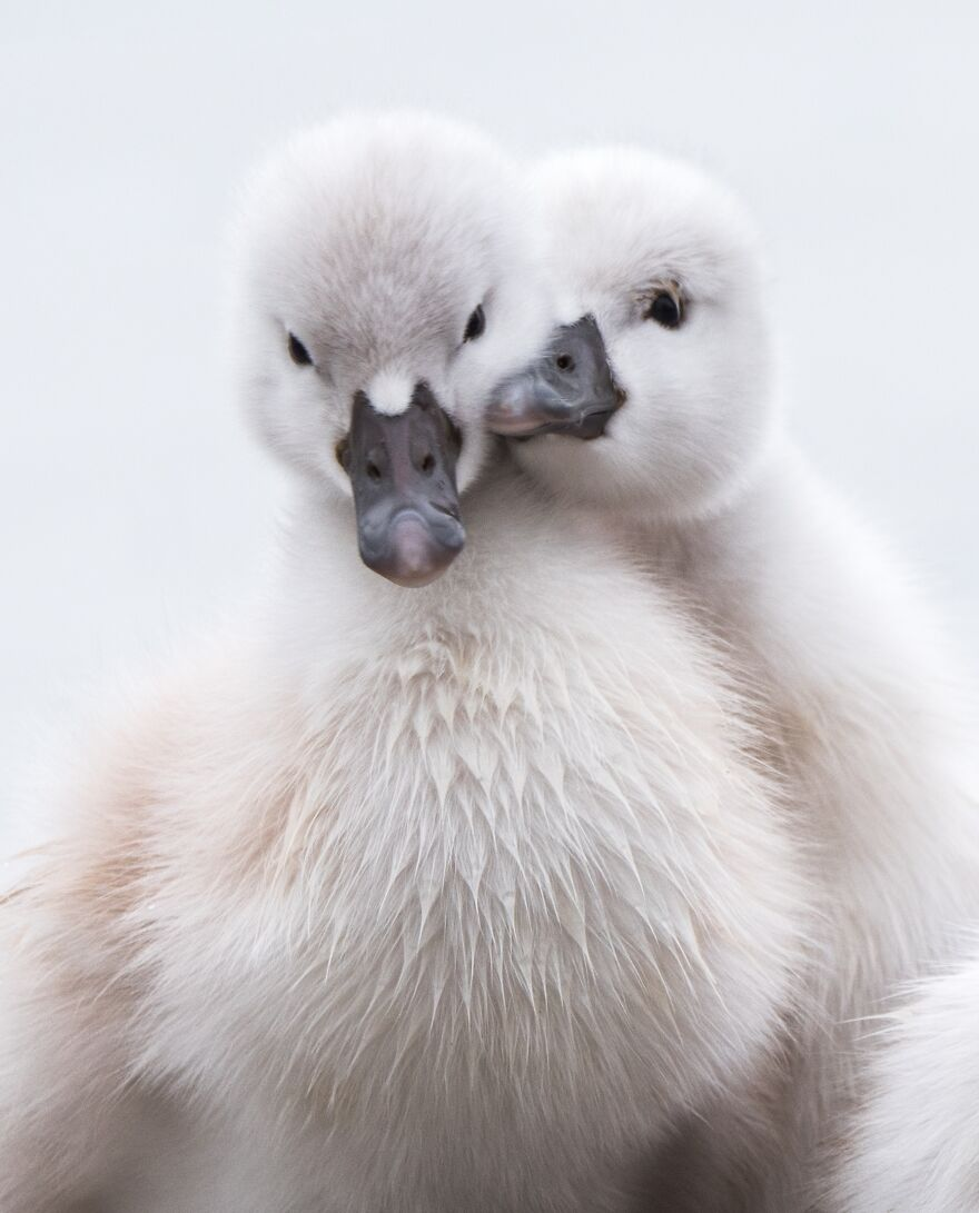 милое фото лебедят