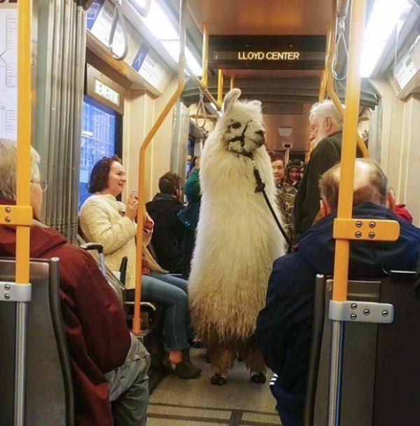 альпака в автобусе