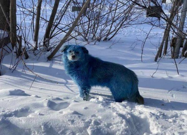 фото голубой собаки