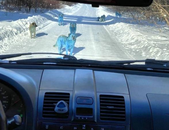 синие собаки фото