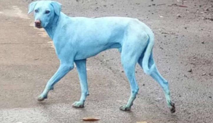 синяя собака Индия