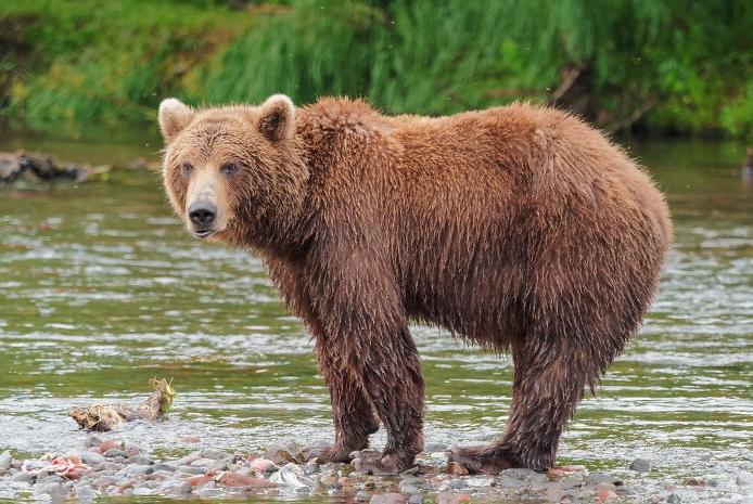 медведь на реке