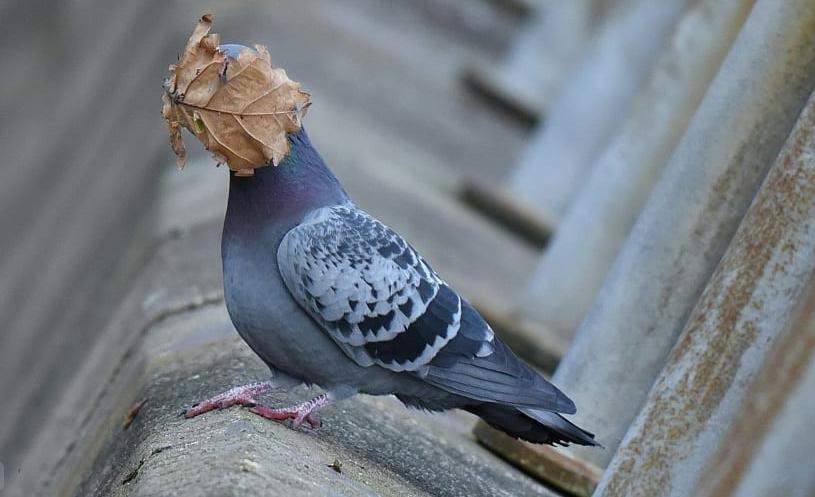 смешное фото голубя